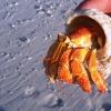 Varenda snäcka på stranden bebos av en krabba