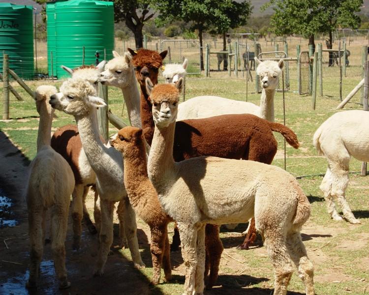 Varje alpacka har ett namn och ullen sorteras efter namnet