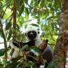 Det finns fler än hundra olika sorters lemurer på Madagaskar