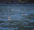 Simmar med delfinerna