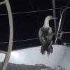 Fågel vilar ut på Mahimahi